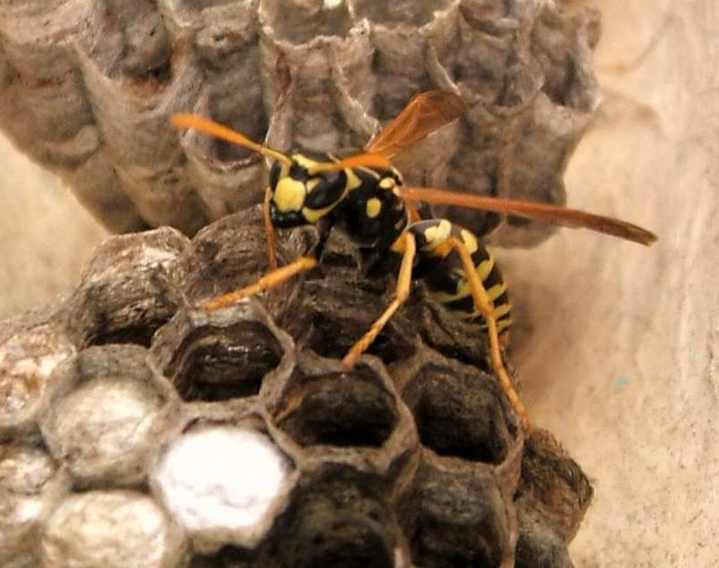 WASP ethic